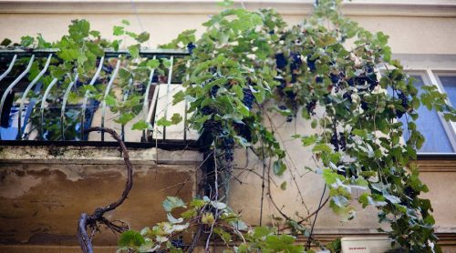 Свисающий виноград