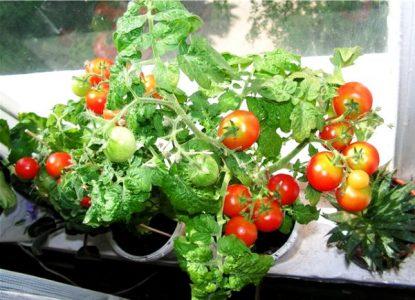 Болезни помидоров